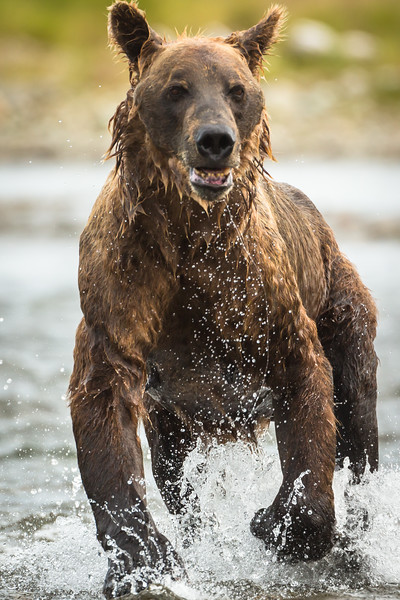 The wet look of a grizzly