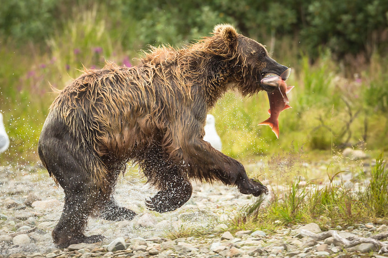 One cub grabs a salmon from another cub and runs to eat alone