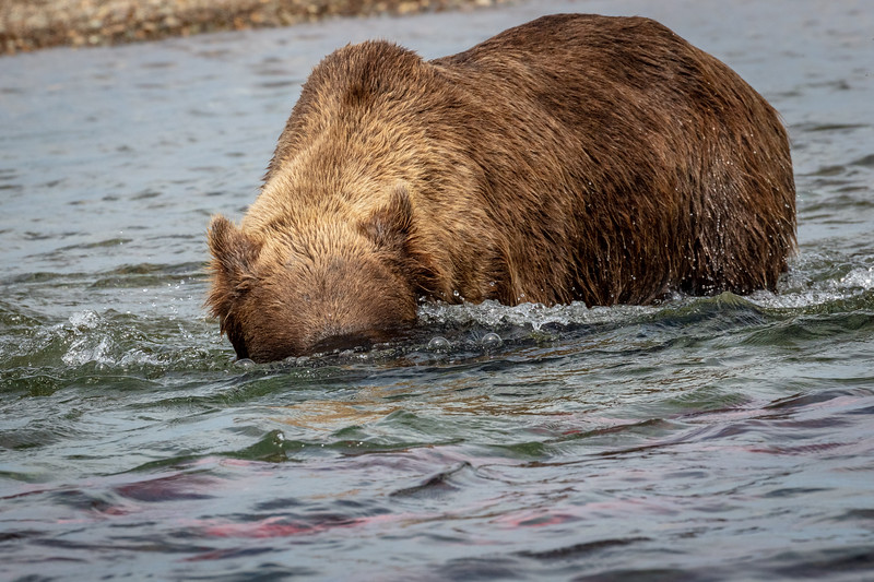 Searching underwater for the salmon