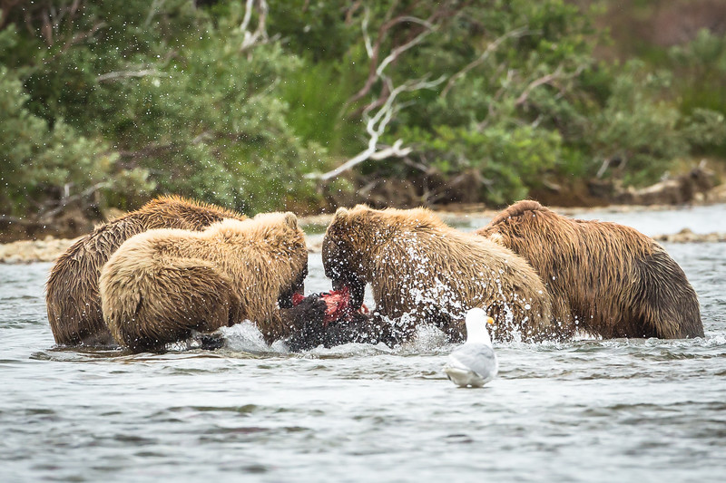 The cubs fighting over a salmon