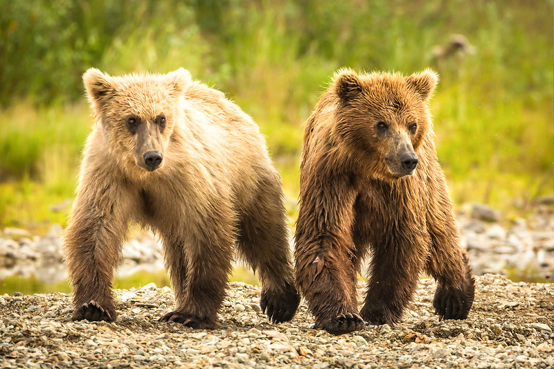 Two cubs following mom