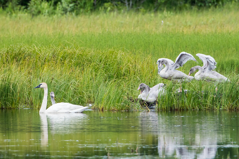 A family of trumpeter swans