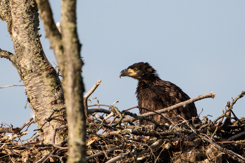 Young eagle in nest waiting for her parents to bring food