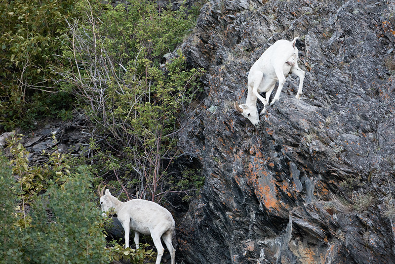 Dall sheep have cloven hooves and rough pads that help them navigate steep ledges