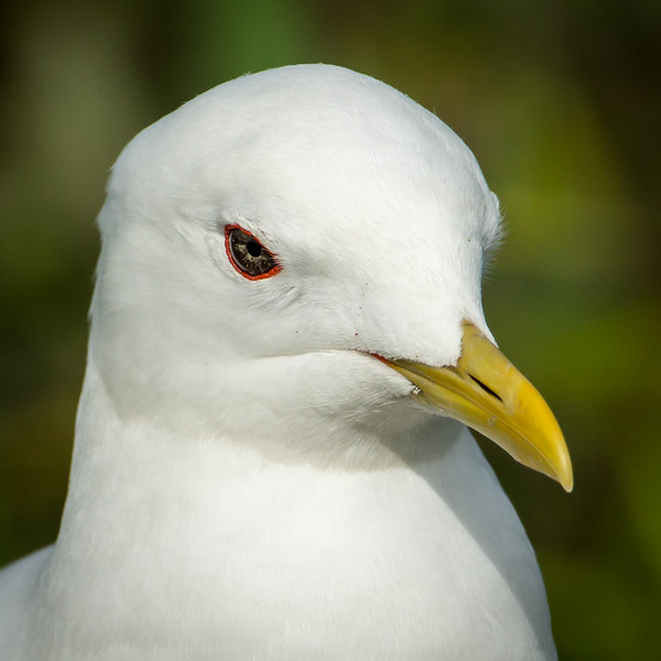 Gulls are often scoffed at, but they are beautiful, adaptive birds