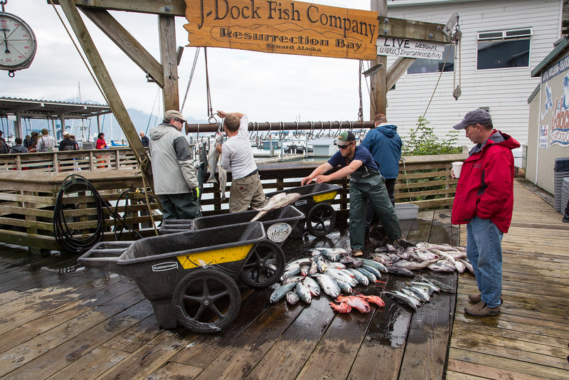 When the fish arrive at the dock they are quickly processed