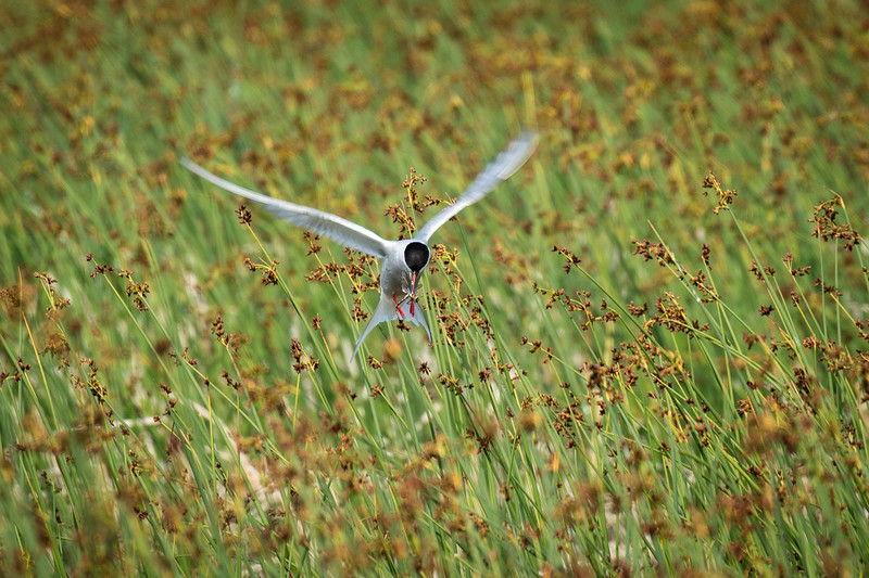 A tern capturing a dragon fly