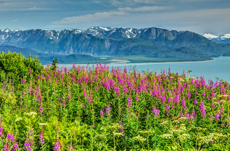 Kenai mountain range outside of Homer with fireweed in the foreground