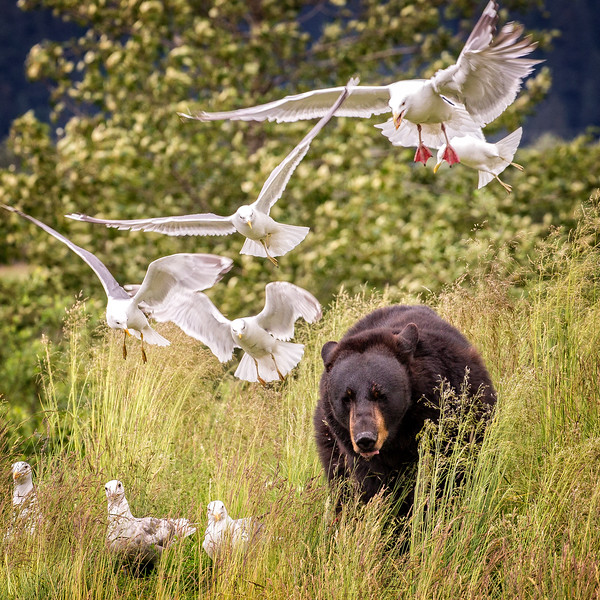 The gulls in pursuit of the scraps left behind by the bear