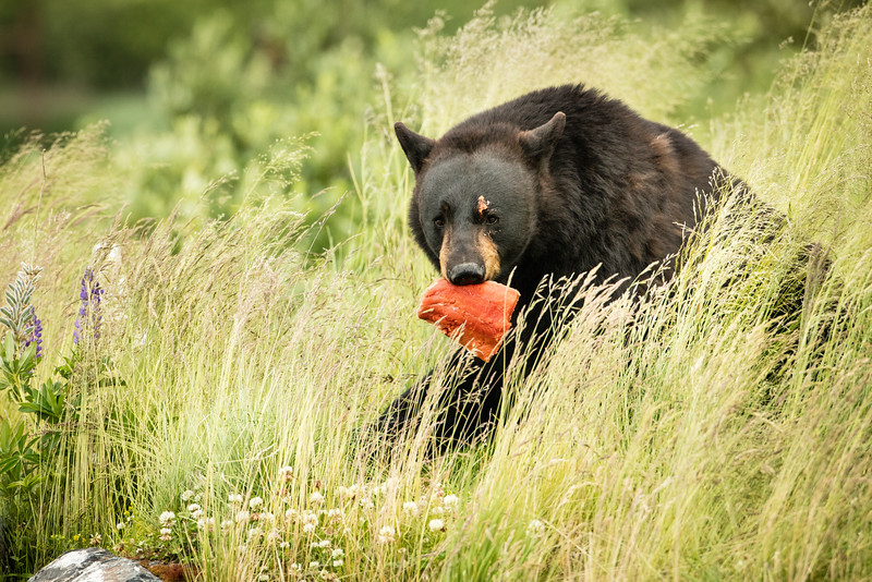 The bear eating salmon