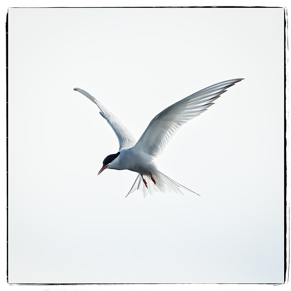 A tern hovering in preparation to catch an insect