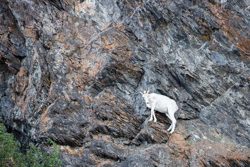 Dall sheep use steep cliffs to escape from predators such as wolves and bears