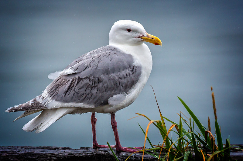 It's a gull, maybe a glaucous-winged gull
