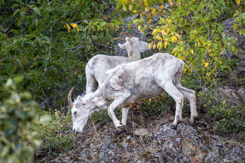 Dall sheep demonstrating their rock climbing skills