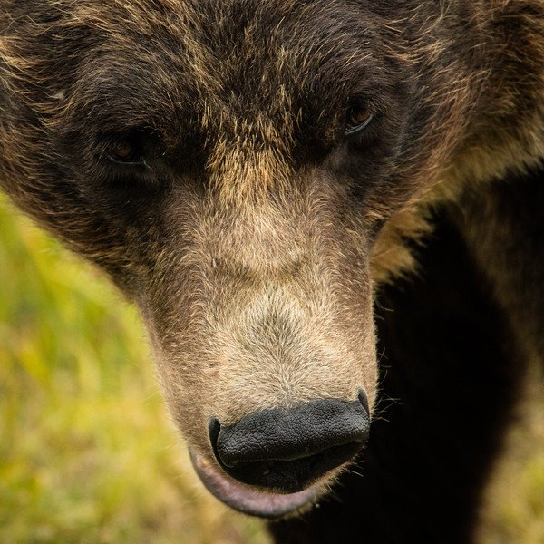 A grizzly close up