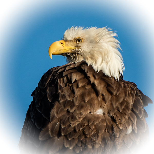 You can see why eagles are a symbol of the spirit of America