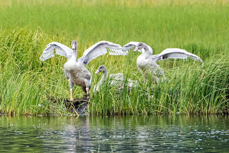 The young swans exercising their wings