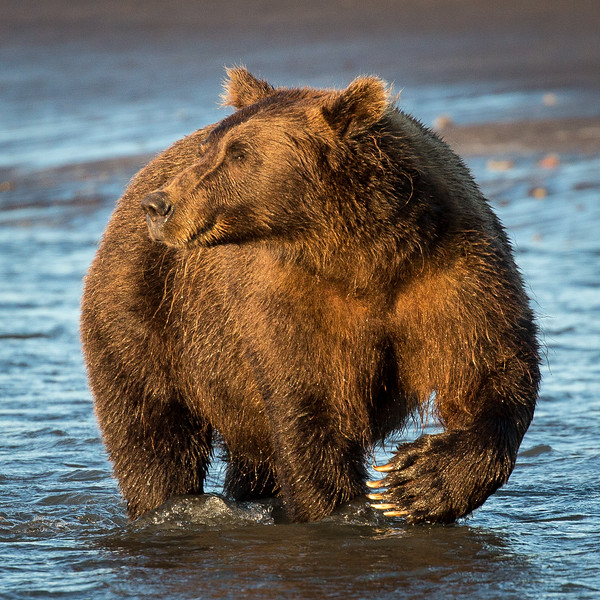 A beautiful grizzly looking to fish for salmon