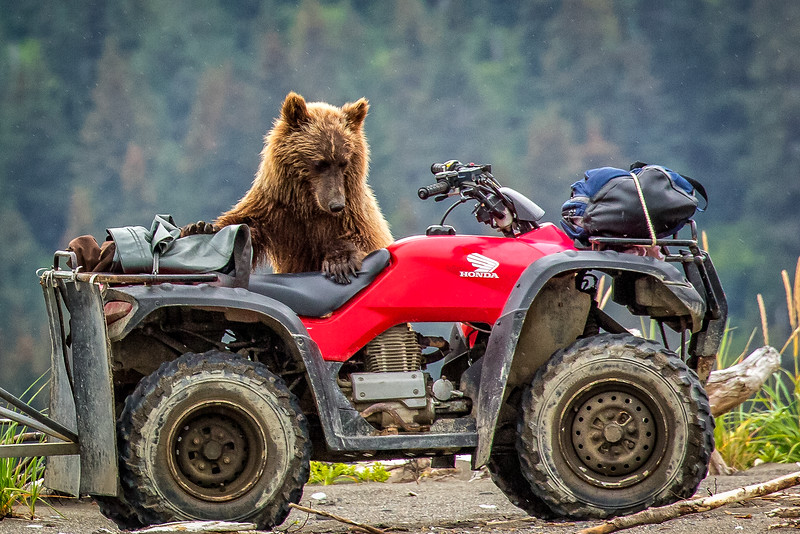 For a moment I thought the cub was going to try driving the ATV. Instead he just chewed up the seat
