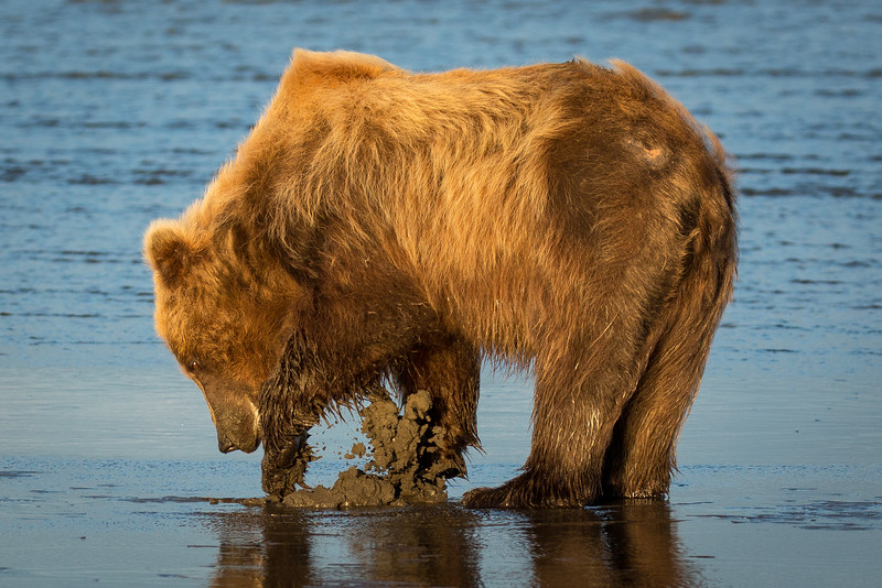Another bear clamming in beautiful evening light (9:30 pm)