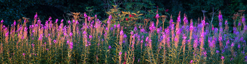 Fireweed in early morning light