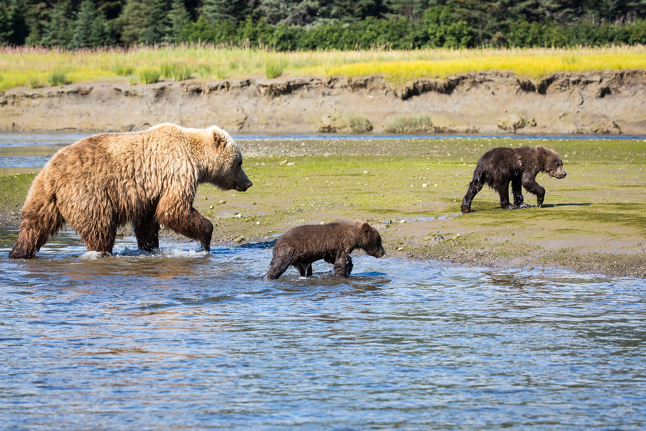 These are coastal grizzly bears, a subspecies of brown bears. Some coastal bears are blond like this one