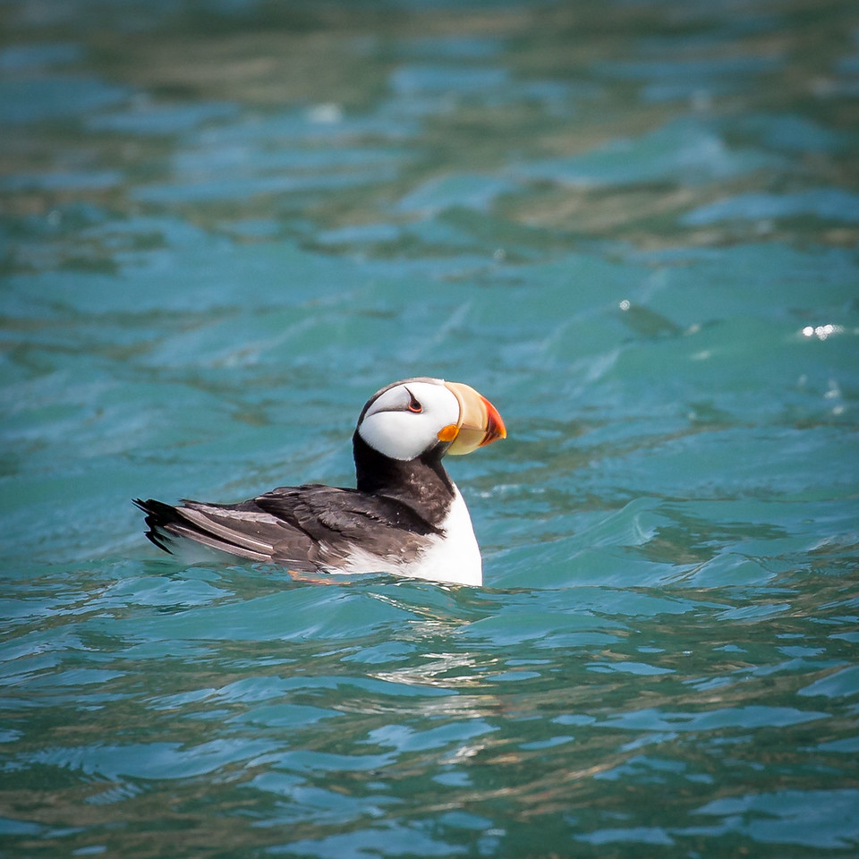 Horned puffin resting on the beautiful aqua-colored water