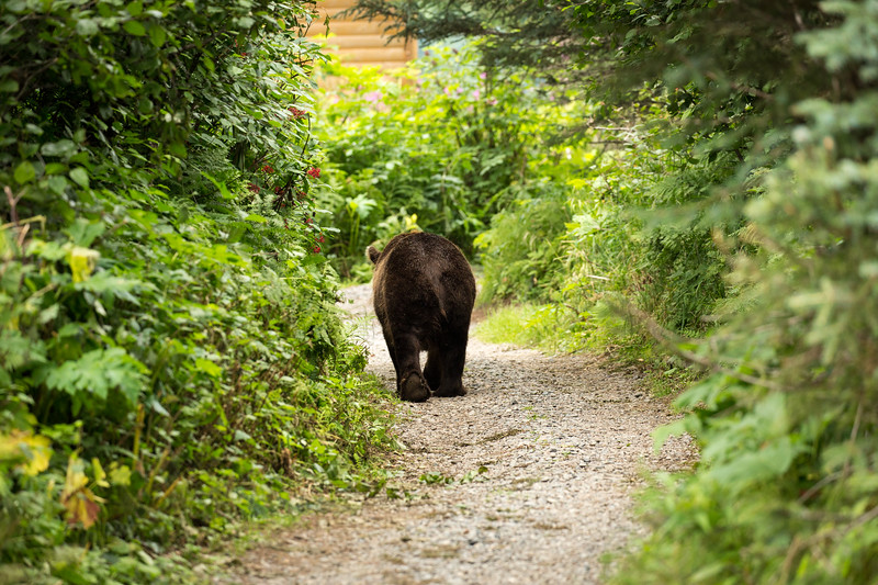 How dare this bear take the path we took to go from our cabin to the main lodge. We yielded on this occasion