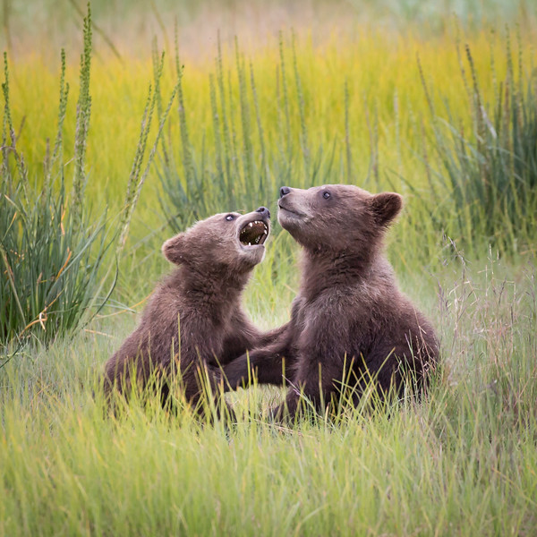 Here are her two playful cubs. You'll see more of them