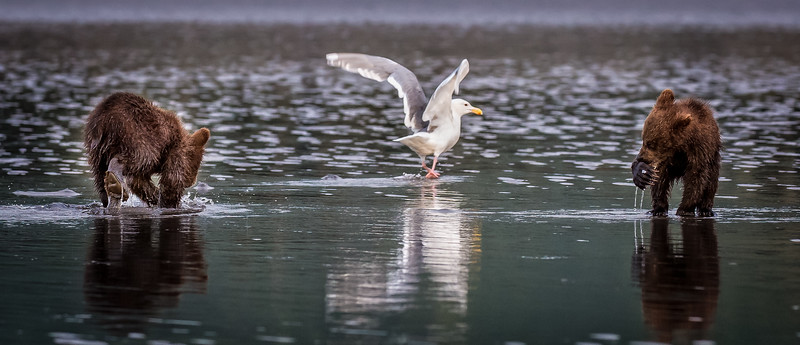 And the gulls stay nearby to get any remaining scraps that the cubs don't eat