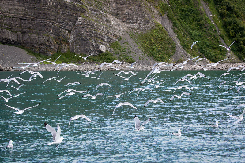 As we approached the island this flock of black-legged kittiwakes took to the air