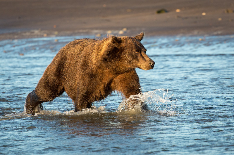 The grizzlies would  come to the mouth of the Silver Salmon Creek during low tide so they could catch salmon