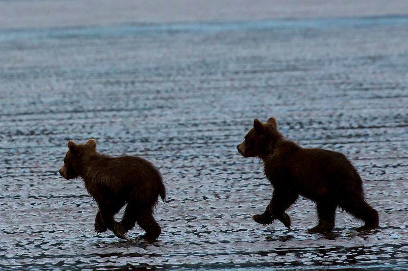 Cubs frolicking on the mud flats