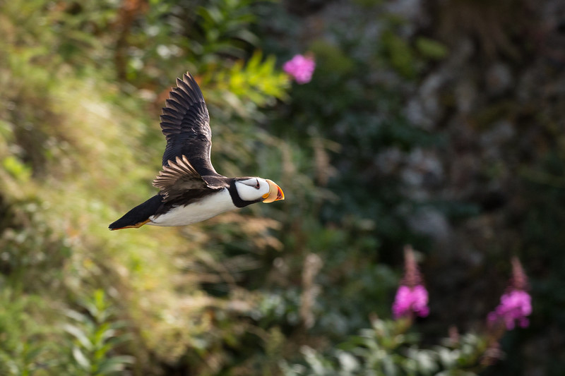 The island provided a beautiful background to photograph  puffins in flight