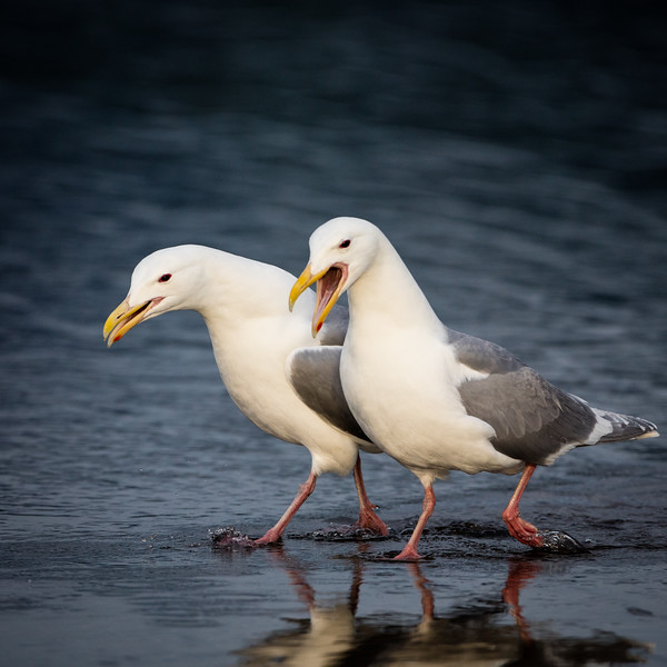 This gull is upset because no scraps were left for her