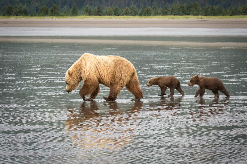 Momma and her two young cubs go clamming