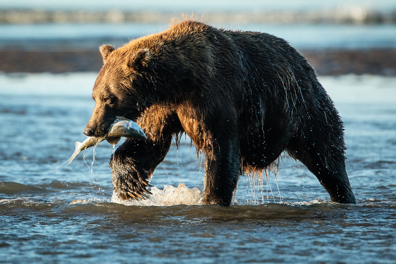 Bears may eat as much as 90 lbs a day with salmon being tops on the menu