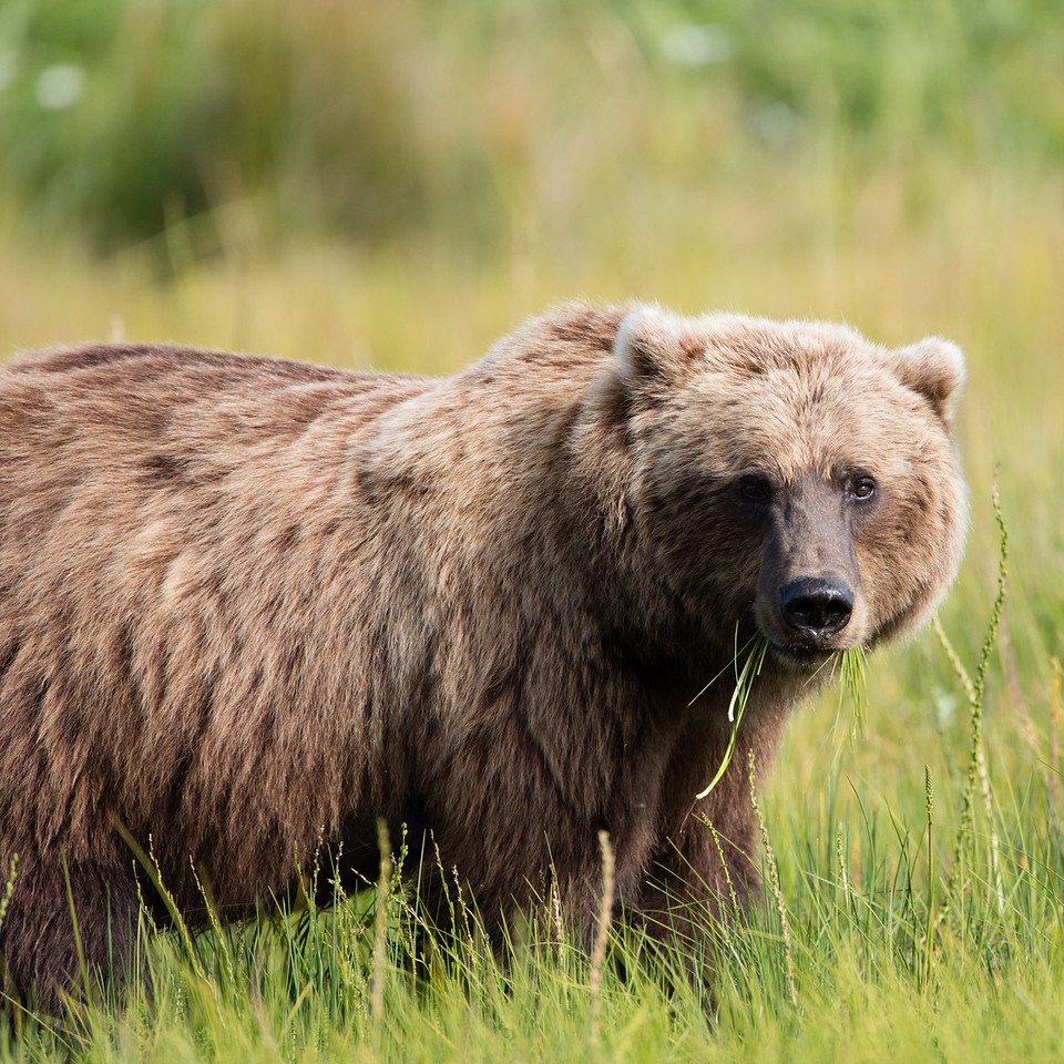 This female adult grizzly eats almost anything it can find. Berries, clams, fish and grass are its main diet.
