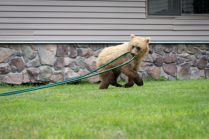 One cub grabs the garden hose