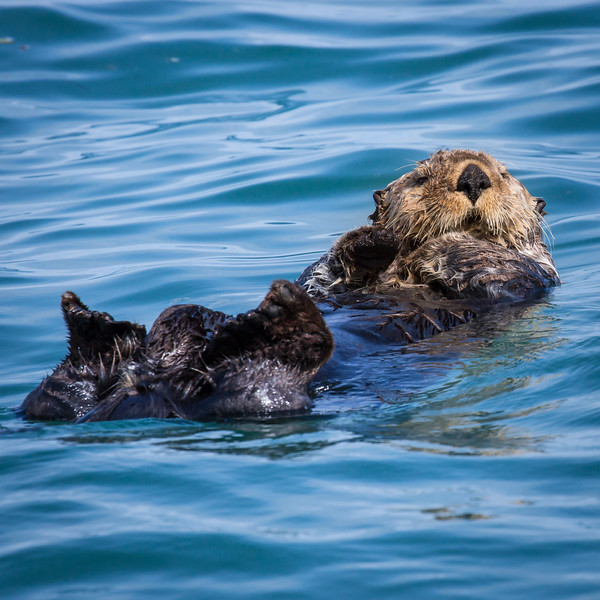 Just off shore was a young otter floating on her back half asleep