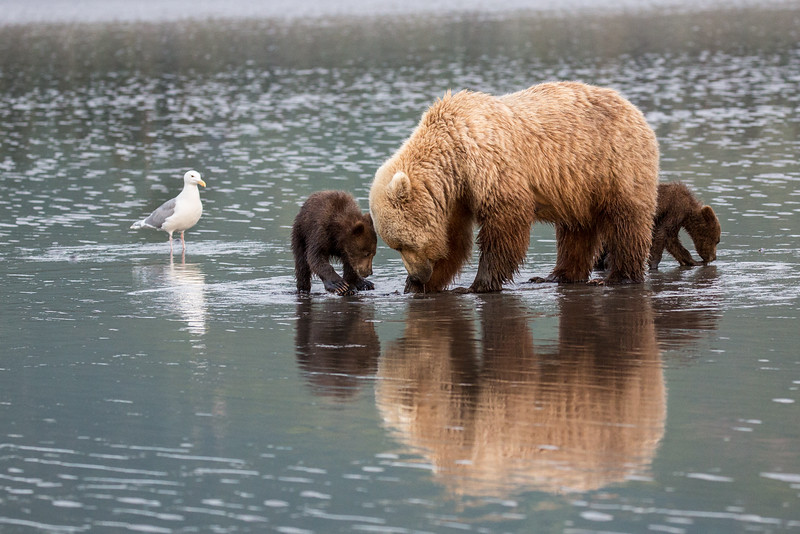 Momma bear with her two young cubs