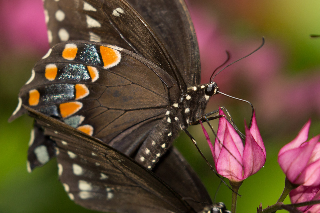 Black swallow-tail butterfly