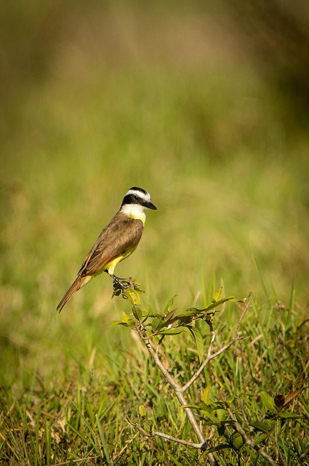 Costa Rica has over 900 species of bids. This is a Great Kiskadee flycatcher.