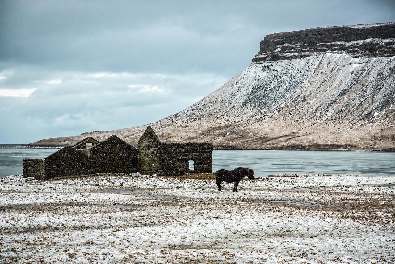 Horses endure the harsh Icelandic winter outside