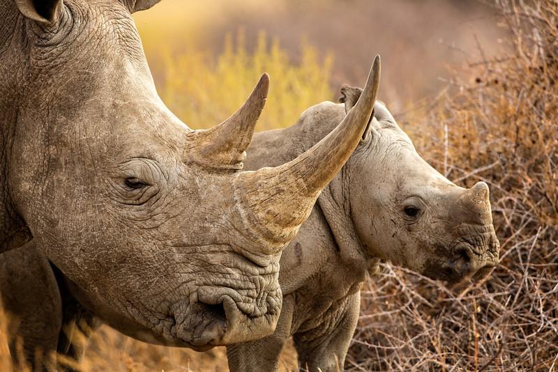 Rhino cow and calf