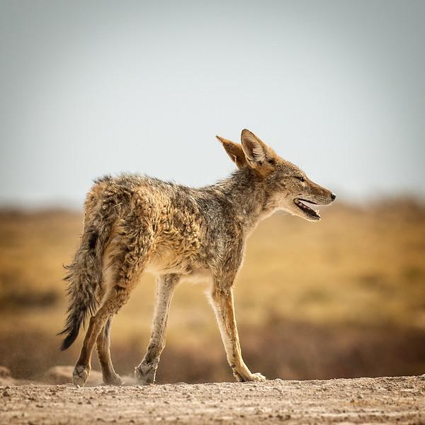 Scrawny jackal in search of water