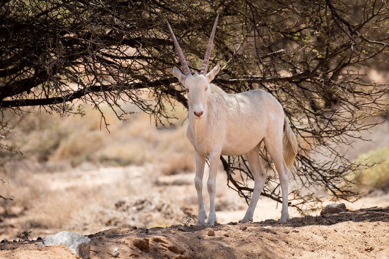 Albino oryx, rare
