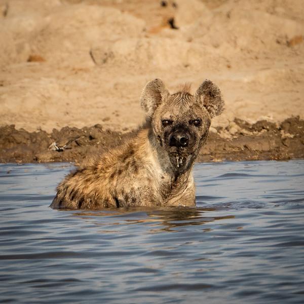 Hyena at the waterhole