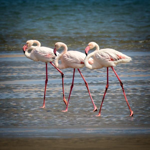 Marching flamingos