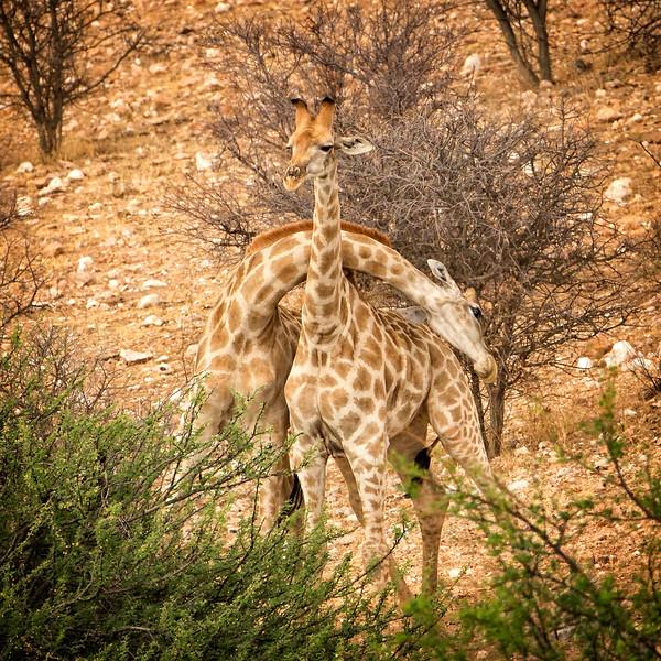 Giraffes whipping necks